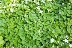 A erva verde fresca da pastilha de hortelã é usada igualmente medicinalmente como uma tisana Foto de Stock