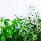 Ervas aromáticas frescas verdes - melissa, hortelã, tomilho, manjericão, salsa no fundo branco Quadro da colagem da bandeira das  fotografia de stock