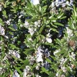 Ervas da especiaria, alecrins na flor fotos de stock royalty free