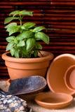 Ervas da manjericão no potenciômetro do Terracotta Imagem de Stock