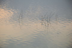 Ervas daninhas da água Fotografia de Stock Royalty Free