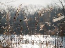 Ervas daninhas da flor sob o por do sol perto da lagoa Fotos de Stock