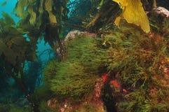 Ervas daninhas do mar Foto de Stock
