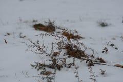 Ervas daninhas do verão que picam através da neve do inverno Foto de Stock Royalty Free
