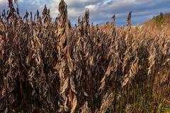 Ervas daninhas marrons murchadas no campo Fotografia de Stock