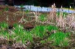 Ervas daninhas pantanosos Imagens de Stock Royalty Free
