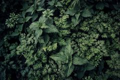 Ervas daninhas verdes selvagens escuras foto de stock