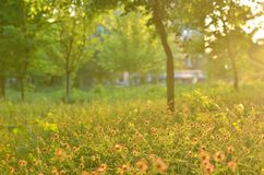 Ervas de florescência, árvores borradas, luz do por do sol fotos de stock