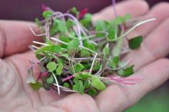 Ervas de Microgreen Imagens de Stock Royalty Free