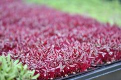 Ervas de Microgreen Fotografia de Stock Royalty Free