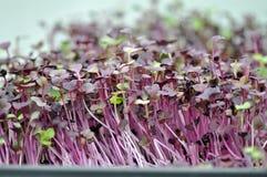 Ervas de Microgreen Foto de Stock