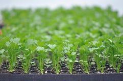 Ervas de Microgreen Imagem de Stock Royalty Free