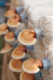 Ervas do chinês do cogumelo de Lingzhi Imagens de Stock Royalty Free