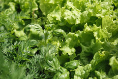 Ervas do close-up com gotas da água: manjericão, salada, erva-doce Imagem de Stock Royalty Free