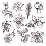 Ervas do esboço e coleção da especiaria Foto de Stock Royalty Free