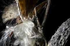 Ervas do Milkweed da estrutura dos filamentos Fotos de Stock