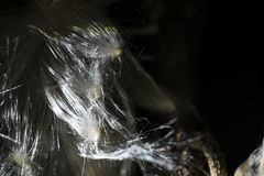 Ervas do Milkweed dos filamentos da flor Fotografia de Stock