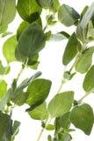 Ervas do Oregano isoladas Fotografia de Stock