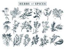 Ervas e especiarias ajustadas Entregue officinalis tirados, plantas medicinais, cosméticas Ilustrações botânicas para etiquetas c Fotografia de Stock