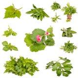 Ervas frescas Foto de Stock Royalty Free