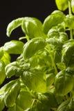 Ervas frescas da manjericão no preto Fotos de Stock