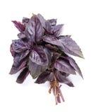Ervas frescas do jardim Manjericão roxa Imagem de Stock Royalty Free