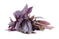 Ervas frescas do jardim Manjericão roxa Fotografia de Stock Royalty Free