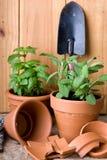Ervas frescas em uns potenciômetros do Terracotta Fotos de Stock