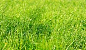 Ervas frescas que crescem em um campo de grande calmo das flores amarelas Imagens de Stock