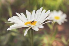 Ervas médicas da flor da camomila no close-up dos campos fotografia de stock
