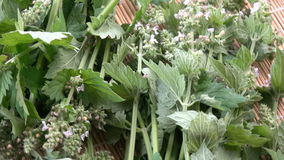 Ervas médicas frescas de giro do erva-cidreira da planta filme