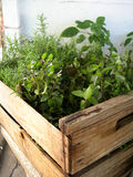 Ervas naturais em uma estufa Fotografia de Stock Royalty Free