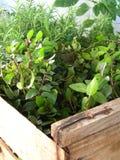 Ervas naturais em uma estufa fotos de stock