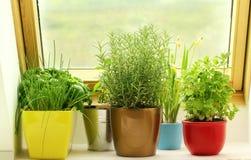 Ervas que crescem na janela Foto de Stock