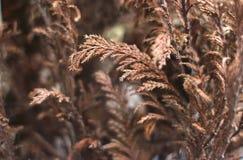 Ervas secas de Brown imagens de stock royalty free