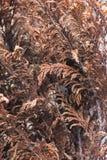 Ervas secas de Brown fotos de stock royalty free
