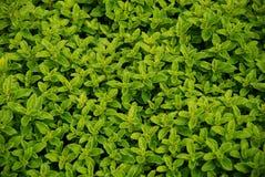 Ervas verdes imagens de stock