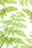 Ervas verdes Fotografia de Stock Royalty Free