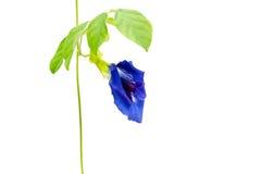 Ervilha de borboleta Imagem de Stock Royalty Free