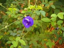 Ervilha de borboleta Foto de Stock