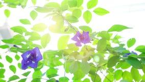 A ervilha de borboleta azul floresce a planta da árvore vídeos de arquivo
