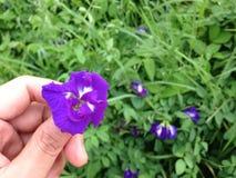 Ervilha de borboleta - Clitoria L ternate Foto de Stock