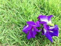 Ervilha de borboleta - Clitoria L ternate Foto de Stock Royalty Free