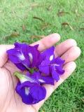 Ervilha de borboleta - Clitoria L ternate Imagens de Stock Royalty Free