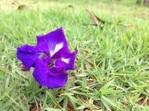 Ervilha de borboleta - Clitoria L ternate Imagem de Stock