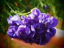 Ervilha de borboleta disponível Imagens de Stock Royalty Free