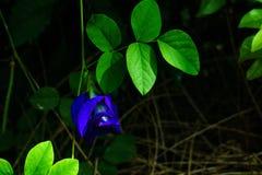 A ervilha de borboleta na árvore com flores roxas cortou com pasto verde Imagens de Stock Royalty Free