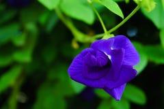 A ervilha de borboleta na árvore com flores roxas cortou com pasto verde Imagem de Stock Royalty Free