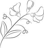 Ervilha doce ilustração royalty free