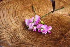 Ervilha doce cor-de-rosa na madeira Imagem de Stock